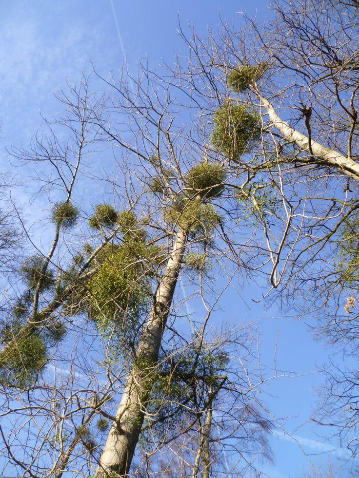 2013-12-31 Bomen vol met mistletoe zie je veel