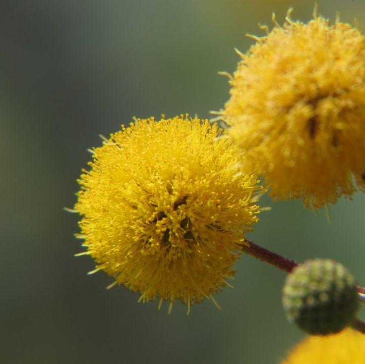 YELLOW - Huisache, Acacia farnesiana