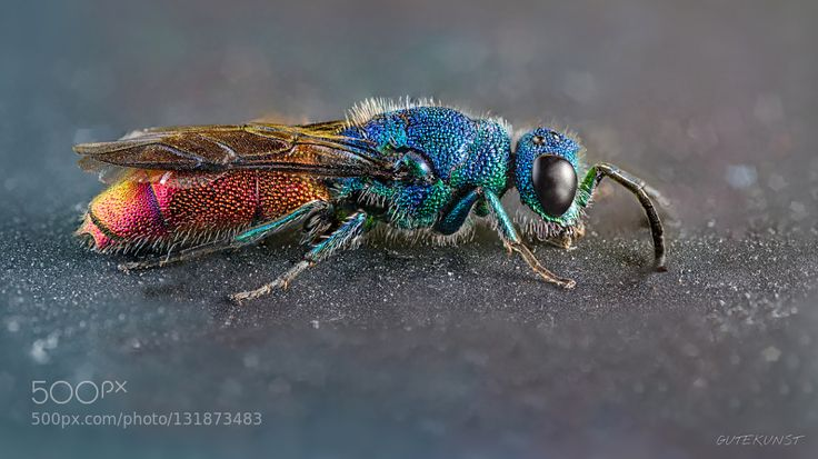 ruby-tailed wasp by vgutekunst