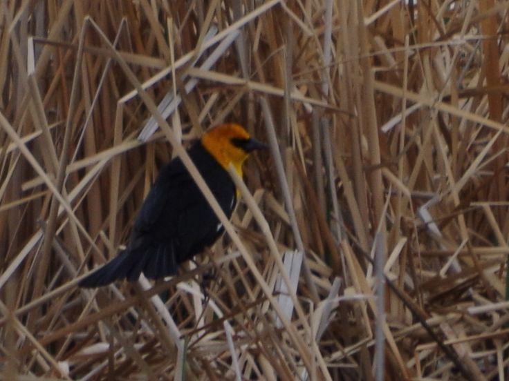 Yellow-Headed Blackbird ©Clark Anderson. Wild Bird Company - Boulder, CO. Saturday Morning Bird Walk at Sombrero Marsh - April 18, 2015.