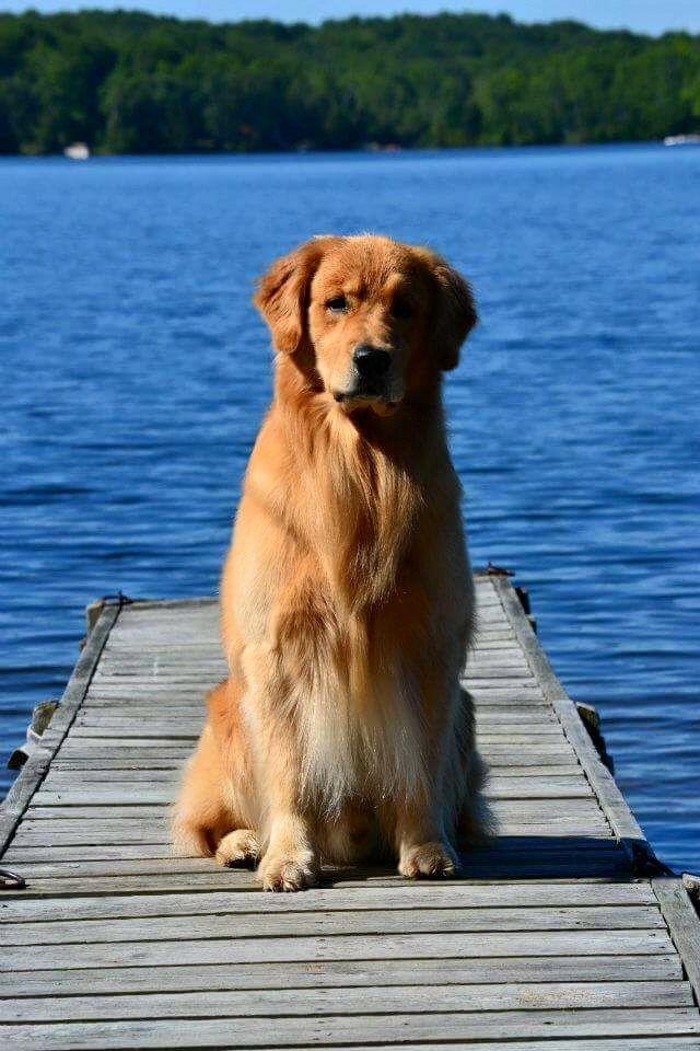 Gorgeous Golden ~ Okay so if this is not already obvious Golden Retrievers are my absolute favorite breed! I have one and I just know for a fact he wont be my last! I'm addicted to their loyalty!!!!!!<3