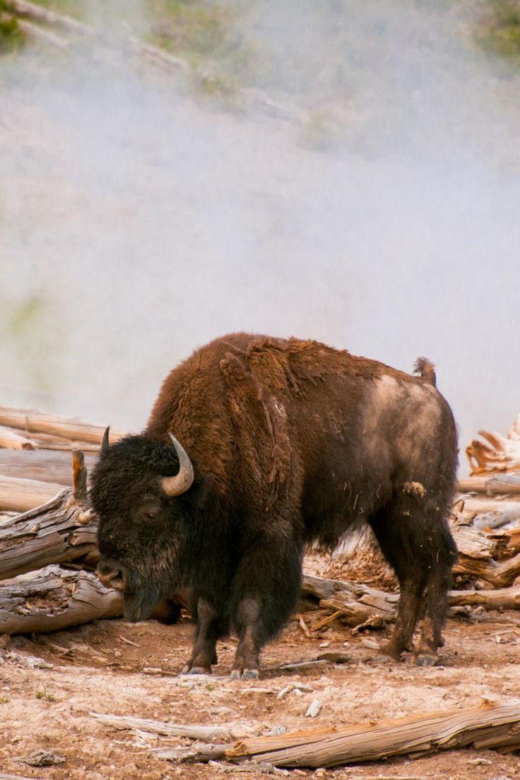 sublim-ature:  American Bison, YellowstoneSam Scholes