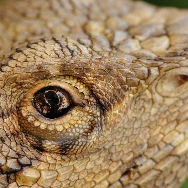 Pin By Bearded Dragon Care Info On Bearded Dragon Articles
