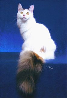 #MaineCoon #Black #Torty #Solid #White #CalicoVan  GC Texas Belle Vanner Banner