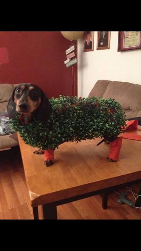 Chia Buddy www.savingpepper.com  Samson would kill me but it'd be worth it!  Excellent ! We're proud you like it ! Let me know if there is requests in anyway , we're glad toassist you to : ) Here's my shop ==> https://etsytshirt.com/dachshund #ilovemydachshund