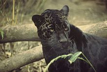 jaguar-melanistic, leopards and  jaguars can be confused.jaguars usually has larger darker rosettes with thicker lines on the body and in smaller numbers, they have compact bodies with a more muscular build, the legs are more stocky, the leopard is much more graceful