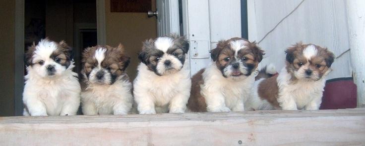 Maggie's Shih Tzu puppiesTzu Puppies, Animal Baby, Shy Tzu, Animales Pets, Maggie'S Shih, Puppies Someday, Shih Tzus, Animal Pets, Shih Tzue