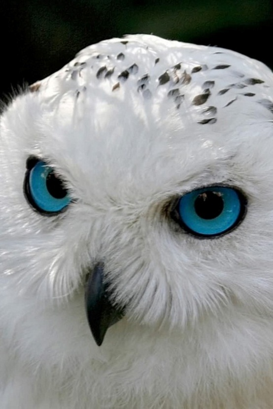incredible blue eyed snowy owl