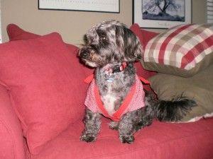 Otis the Beagle Poodle Mix...gosh, he is super cute!!