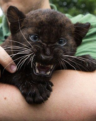 """Panther. we couldnt afford a home security system so we bought a black panther. """"dont move"""""""