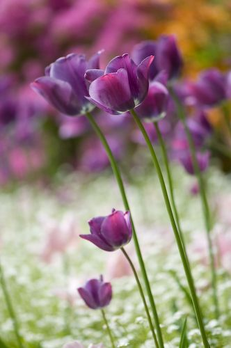 Purple single late tulips in mixed border | http://www.tulipworld.com/bulbcollections/purplesinglelatetulipcollection.html