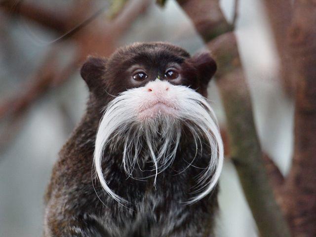 Mustache Monkey!