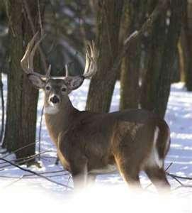 Deer Hunting: Whitetail Bucks, Animal Things, Whitetail Deer, Deer Hunt'S, Hunt'S Stuff, Nice Whitetail, Big Bucks, Deer Hunting, Bows Hunt'S