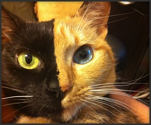 Venus - a chimera cat.  Two, Two Cats in One! (Ok, I just really showed my age. That's a reference to an old Certs commercial)