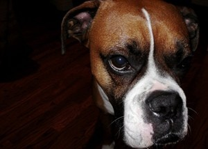 Boxer Dog - Breed Information