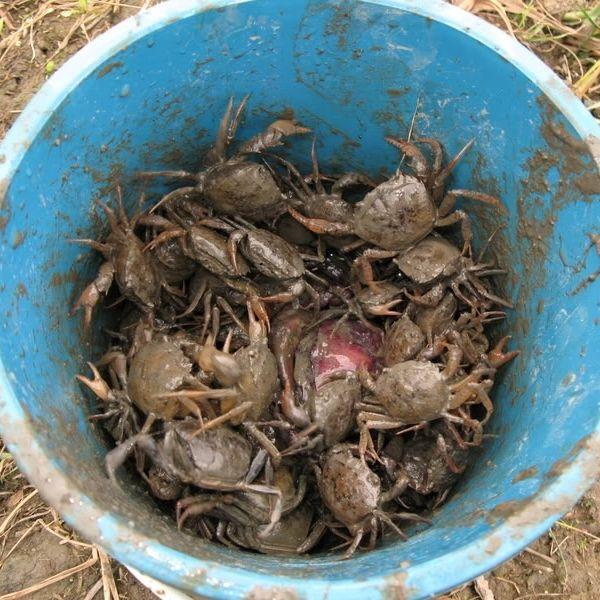Crab Mentality (Sociology)