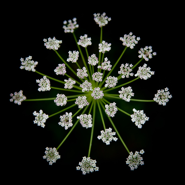 umbrella, queen anne's lace, by Art Lionse: Flowers Gardens, Umbrellas, Natural Photography, Natural Beautiful, Chantilly Lace, Gardens Landscape, Art Lion, Lace Art, Queen Anne Lace