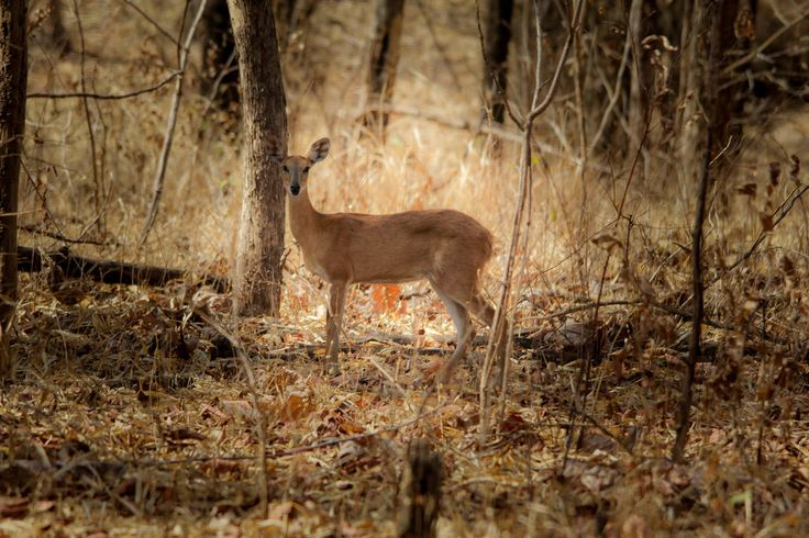 Deer, Pench National Park, What to do around Maharashtra for a weekend! Pune, Maharashtra, Mumbai, India