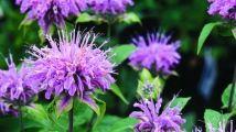 Les plantes indigènes Les fleurs roses de la monarde fistuleuse, qui éclosent en juillet et en août, font le festin de tous les animaux friands de nectar, tels les abeilles, les bourdons, les colibris et les papillons. Cette vivace nécessite un sol riche et frais, voire même humide, exposé au soleil comme à l'ombre légère. Assurez-vous que le sol dans lequel plongent ses racines ne s'assèche jamais afin d'éviter qu'elles soient attaquées par le blanc, un champignon qui cause l'apparition…