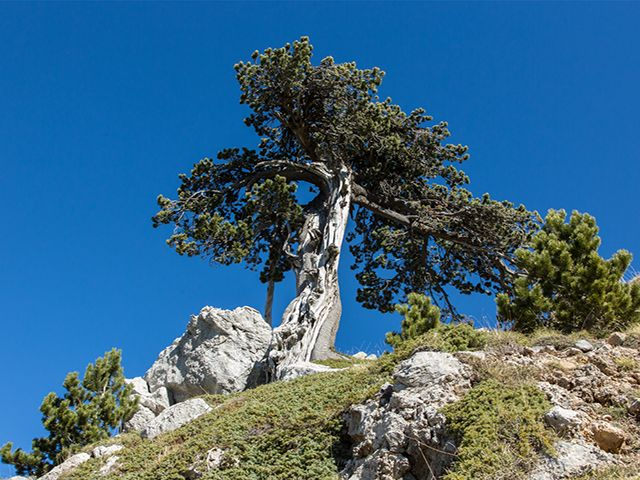 Ph Martorelli Il Pino Loricato centenario albero simbolo del Parco nazionale del Pollino