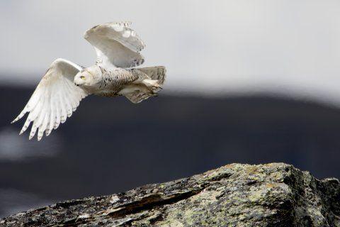 Svenskt rekordår för fjällugglan - Fjälluggla