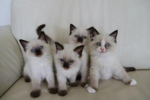 .: Kingdom Animalia, Kitty Cat, Animal Kingdom, Siam Kittens, White Chocolate, Adorable Baby, Baby Kitty, Kittens Animal, Adorable Animal