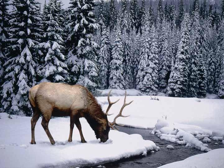 kışın ormanda ren geyiği
