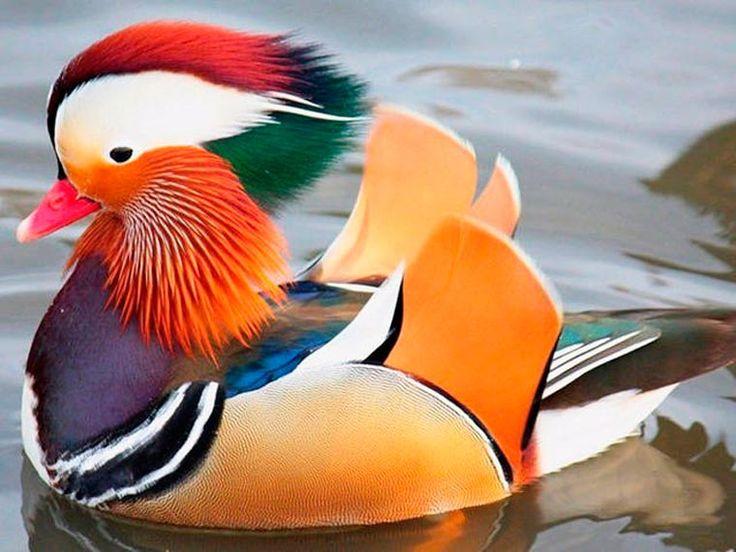 Canard mandarin (voir tableau canards et oies)