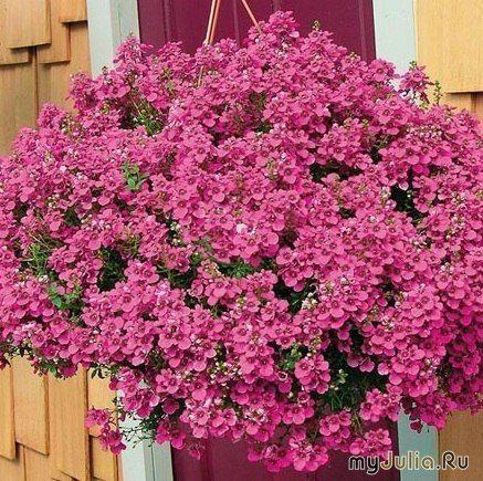 Диасция . В природе многолетник, у нас выращивается как однолетнее растение в основном для посадки в контейнеры и подвесные корзины.