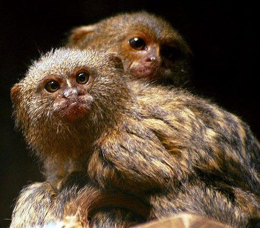 Macaco Pigmeu e seu bebê