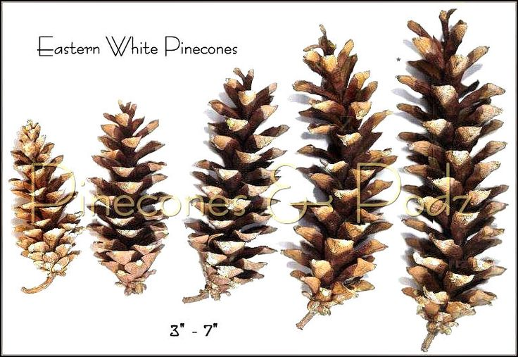 Eastern white pine long slender cone with natural white for Long pine cones