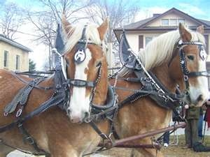 Belgian Draft Horses - My grandpa bred and showed these horses at the MN State Fair in the 1940s and won blue ribbons.  His prize Belgian was named Mameluke.