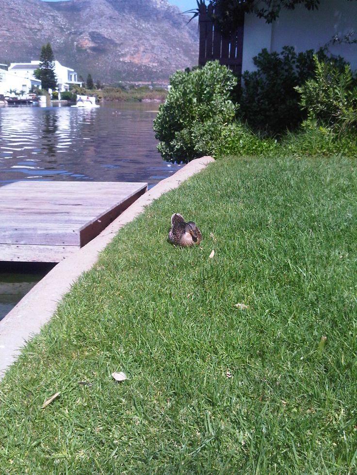 duck stalking me