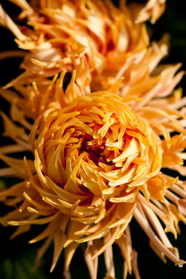 Kiku: Japanese Chrysanthemums.