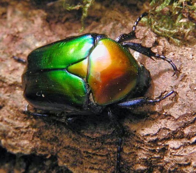 Un escarabajo que parece un colorido juguete ensamblado por el hombre Estos escarabajos, por su muy diferente color, parecen juguetes cuyas...