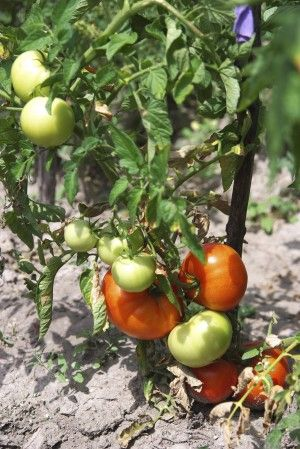 Info from the poison pet hotline~ Tomato Plant ~only the green parts are toxic and in large quantities...  Aside from that, the Pet Poison Hotline is a great number to have handy, as well as, this website...Never hesitate to call them, if you have a question about what your pet just got into!    Who knows it may just save your pets' life❣❣❣