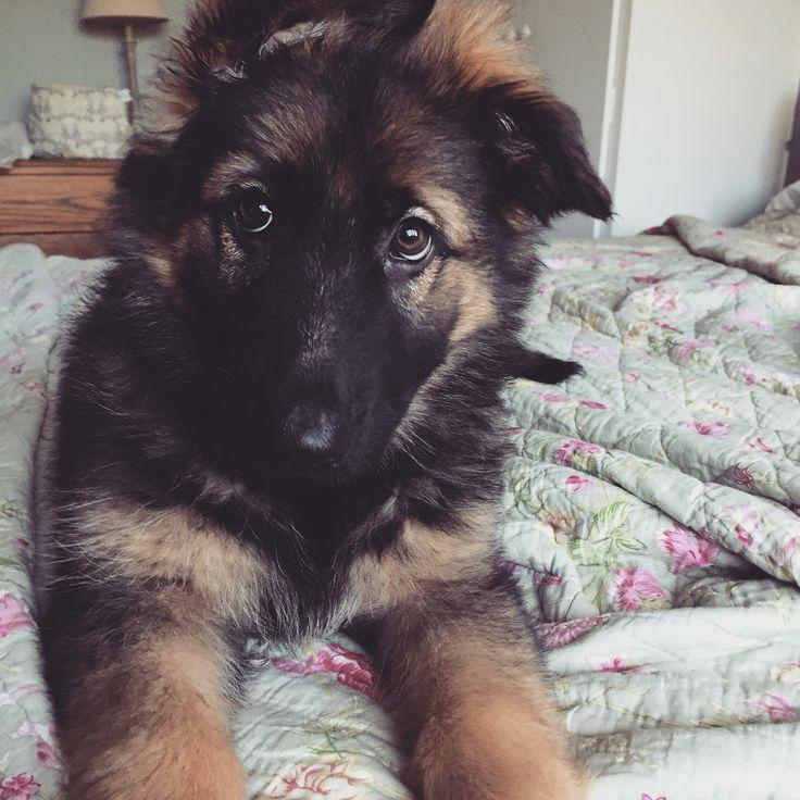 German Shepherd Puppy 9 weeks