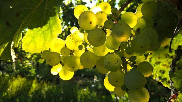 秋, ブドウ, アウトドア, ブドウ園, ワイン, ワイン用ブドウ