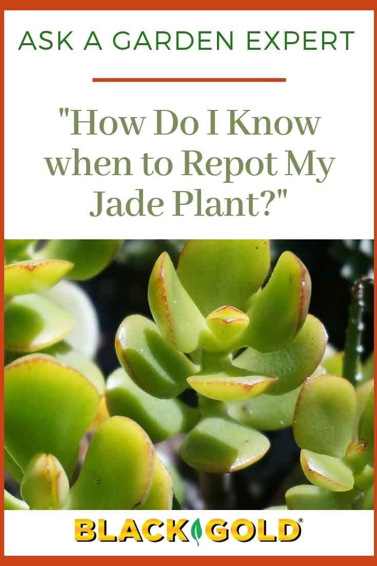 How Do I Know When To Repot My Jade Plant Jade Plants Plants Crassula Ovata