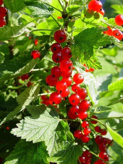 Currant Berries | On the Farm | Pinterest