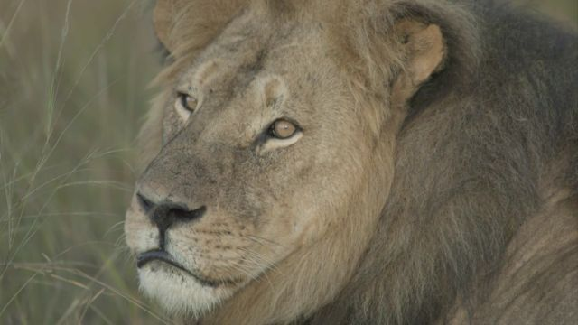 Zimbabwe Alleges 2nd American Involved In Illegal Lion Hunt