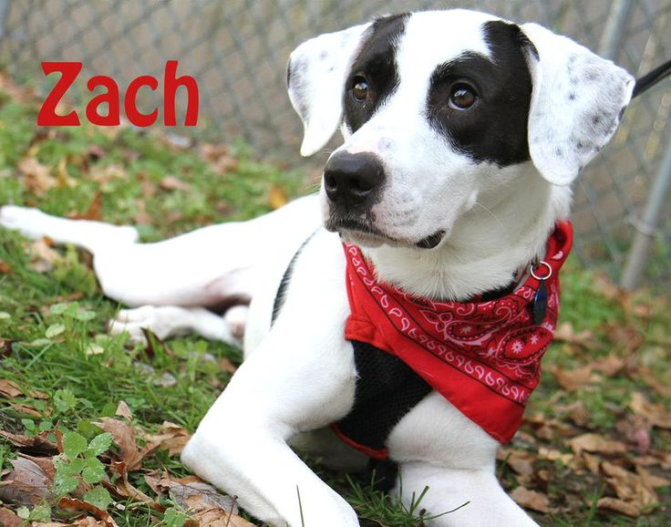 Zach Black And White Male Hound Border Collie Mix Red Bandana Rescue Dog Adoptable Shelter Dog Pet Photography In 2020 Animal Photography Dogs Dog Adoption Dog Photos