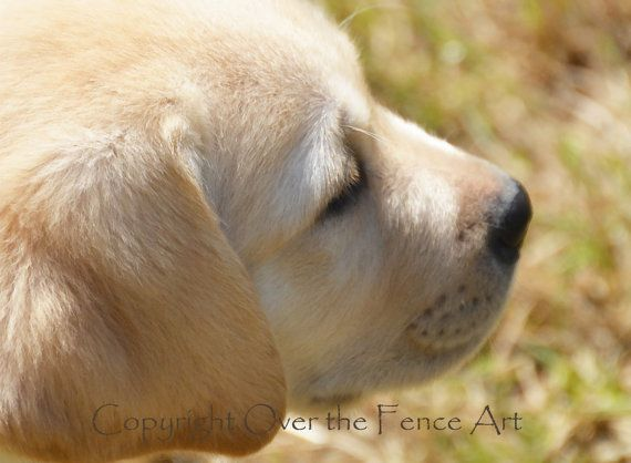 YELLOW LABRADOR PUPPY Greeting Card Dog by overthefenceart