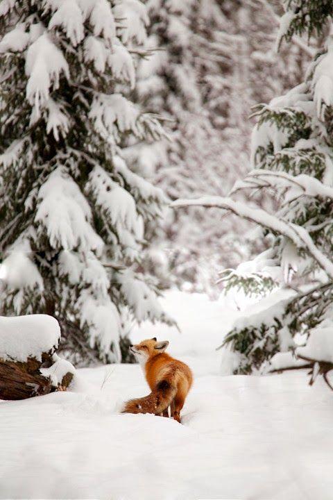 Renard dans une forêt enneiger