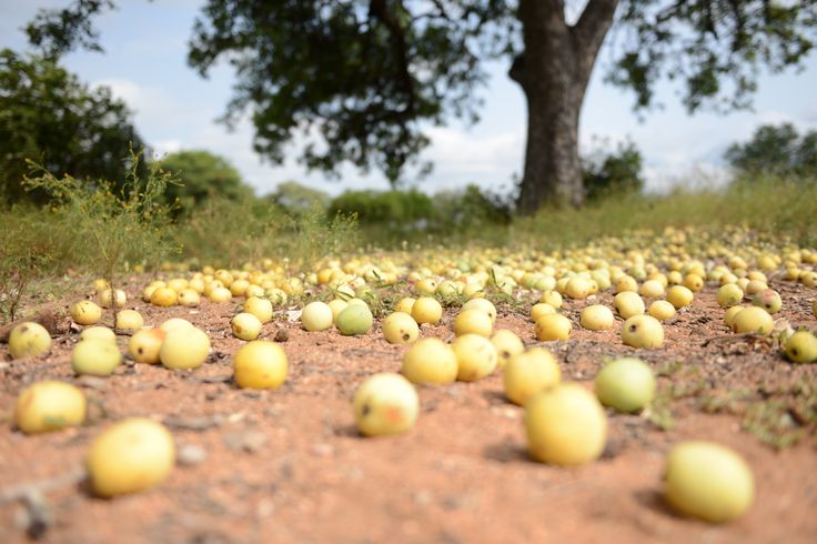Elephants feast on the fallen marula fruit that's heavy with goodness and flavour. Nature's bounty is there to share. Find out more: www.amarula.com.