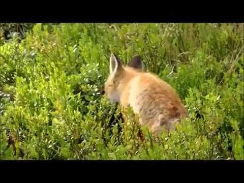 Rävunge i skogen filmad av Catrine Ziddharta Tangen juni 2016 Cute Fox C...
