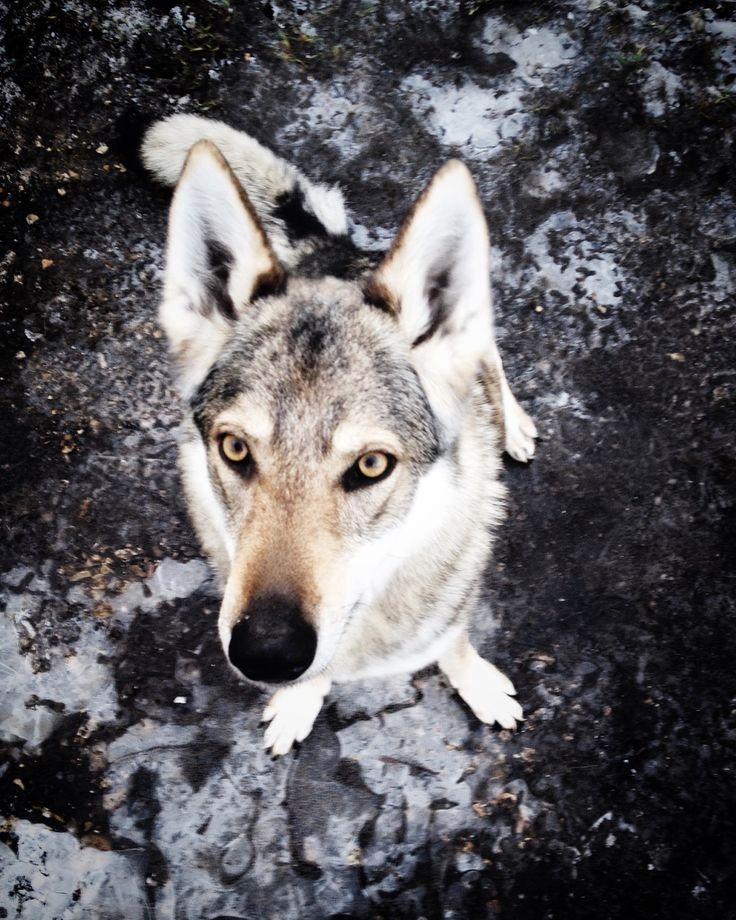 Doupě. Kira, a Czechoslovakian Wolfdog girl