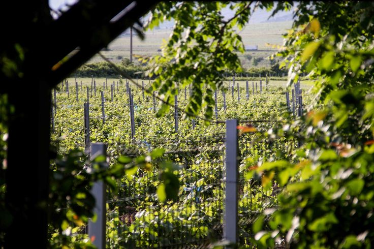 Domeniile Sahateni grapes glimpse.  https://www.facebook.com/AureliaVisinescuWines