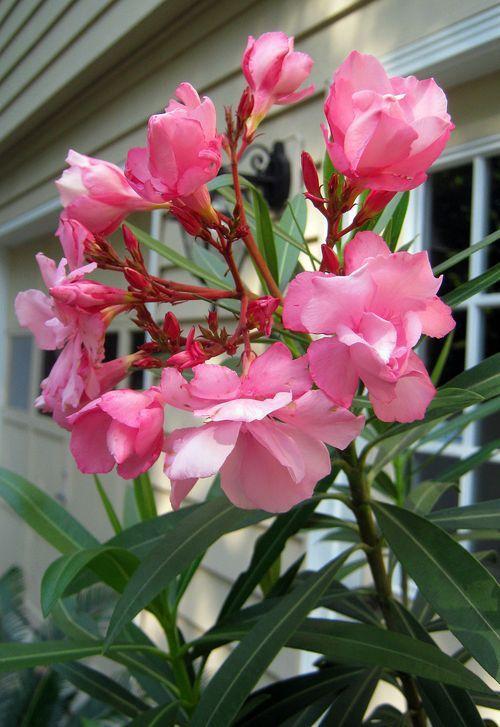 Ole Ole Oleander Florida Landscaping Outdoor Plants