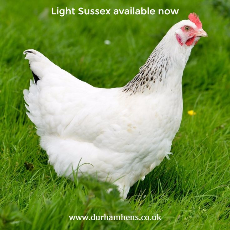 Light Sussex available now at Durham Hens www.durhamhens.co.uk/